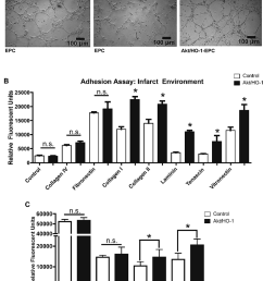 improved adhesion and migration of late outgrowth endothelial progenitor cells epcs expressing akt  [ 850 x 1066 Pixel ]