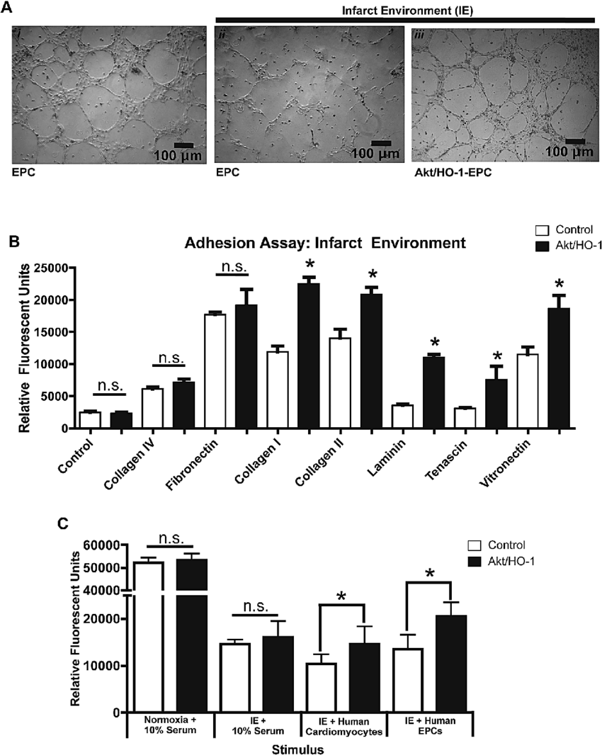 hight resolution of improved adhesion and migration of late outgrowth endothelial progenitor cells epcs expressing akt