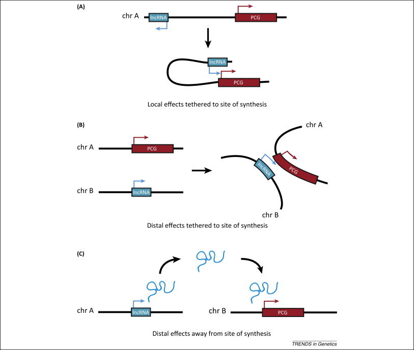 Local and distal modes of long noncoding RNA (lncRNA