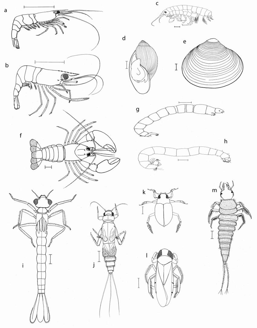 Common macroinvertebrates of the Riverland: (a) Paratya
