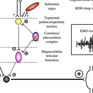 Control of REM sleep based on studies in rat. See text for