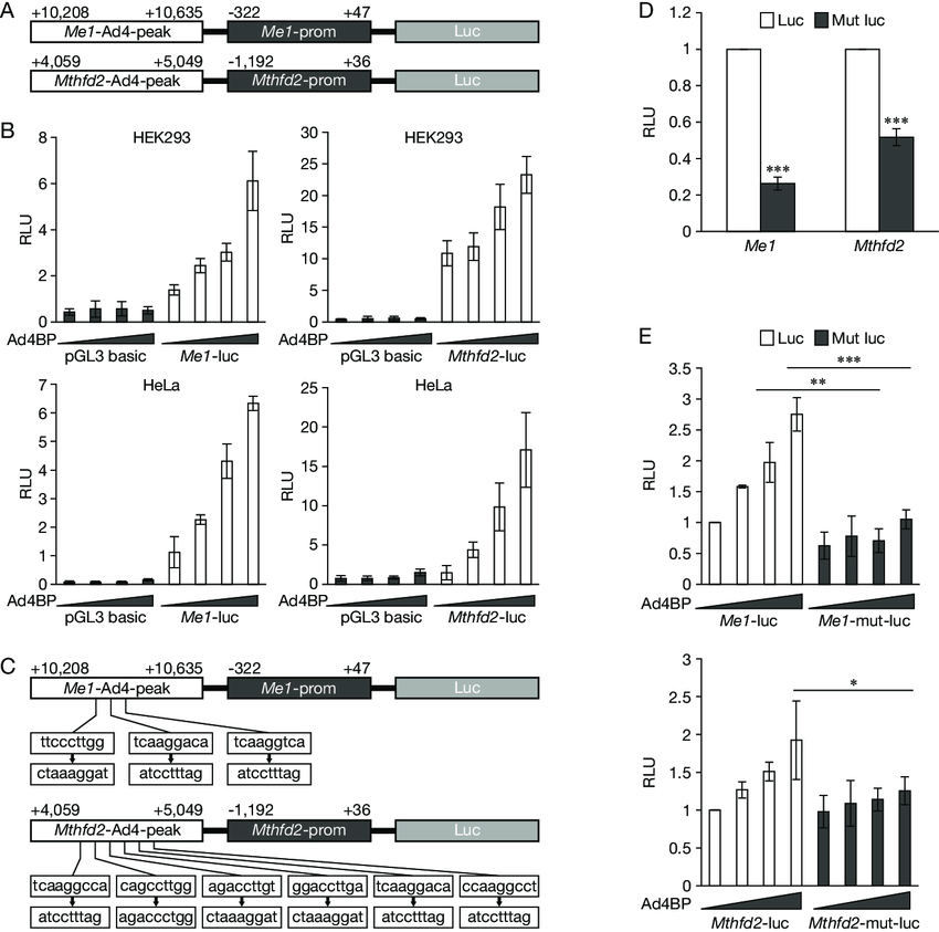 Transcription activities of the Ad4BP/SF-1 accumulated