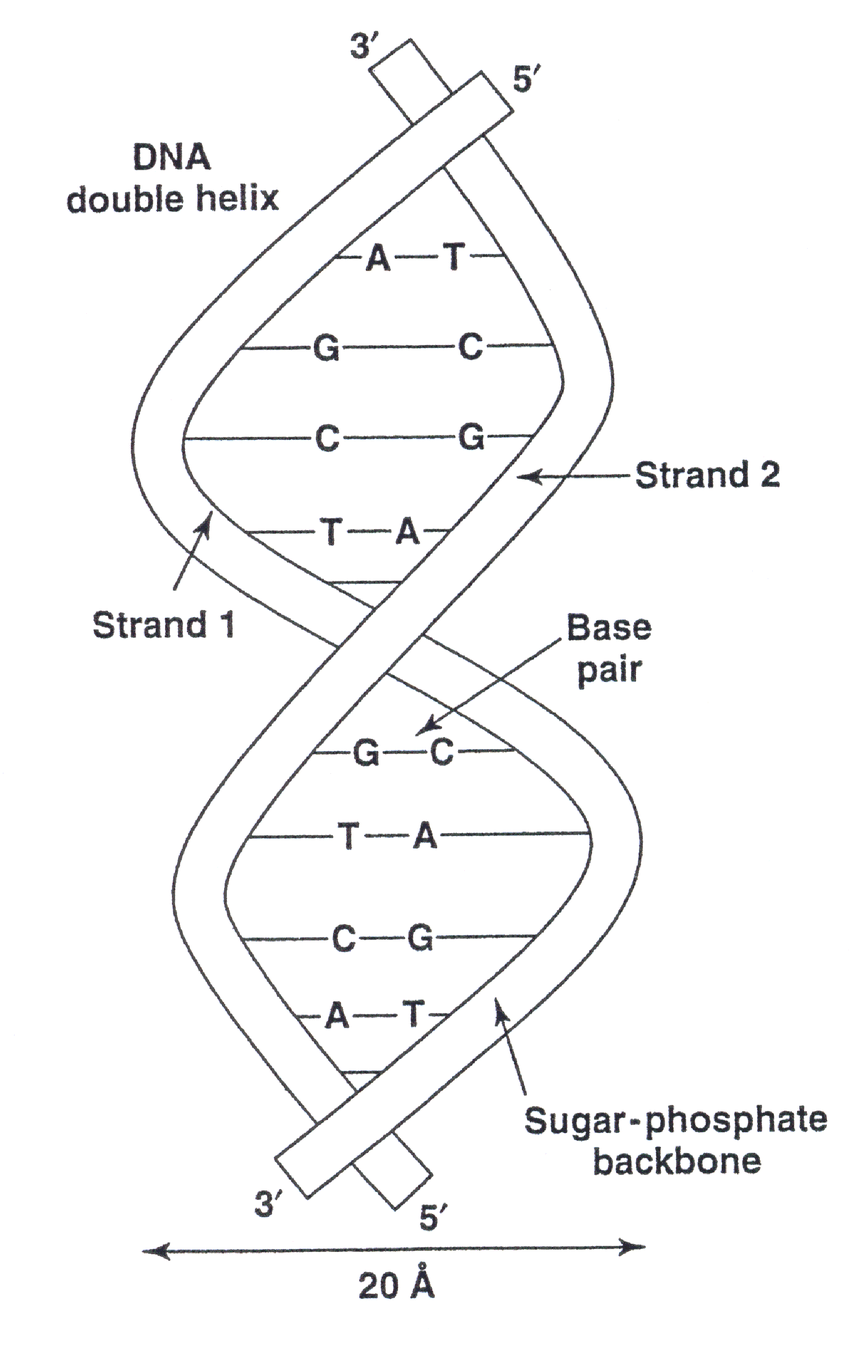 medium resolution of 2 a dna double helix