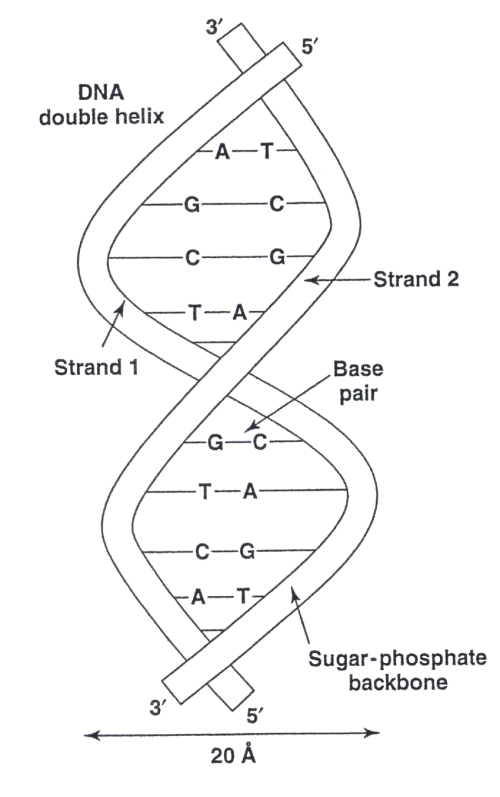 small resolution of 2 a dna double helix