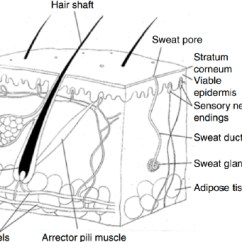 Skin Cross Section Diagram 2007 Ford Focus Wiring A Diagrammatic Representation Of The Structure Human In Epidermis Is