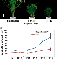 gross morphology of rice semidominant dwarf mutant f4443 its response to ga 3 treatment and segregation ratio of f2 plants a gross morphology of a  [ 719 x 1134 Pixel ]