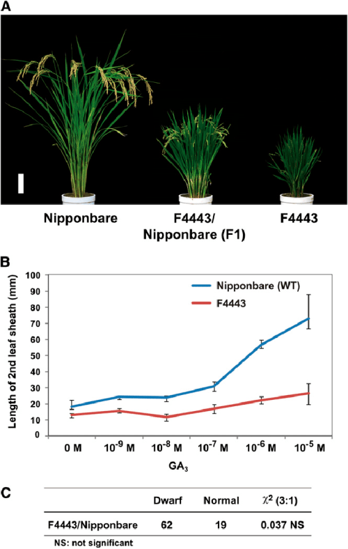 small resolution of gross morphology of rice semidominant dwarf mutant f4443 its response to ga 3 treatment and segregation ratio of f2 plants a gross morphology of a