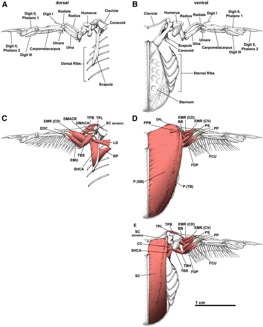 medium resolution of skeletal and superficial muscular selected muscles only anatomy of the wing and pectoral girdle of the anna s hummingbird calypte anna
