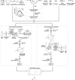 protocol flowchart including preparation of wheat germ extract sections 2 1 and 3 1  [ 850 x 1057 Pixel ]