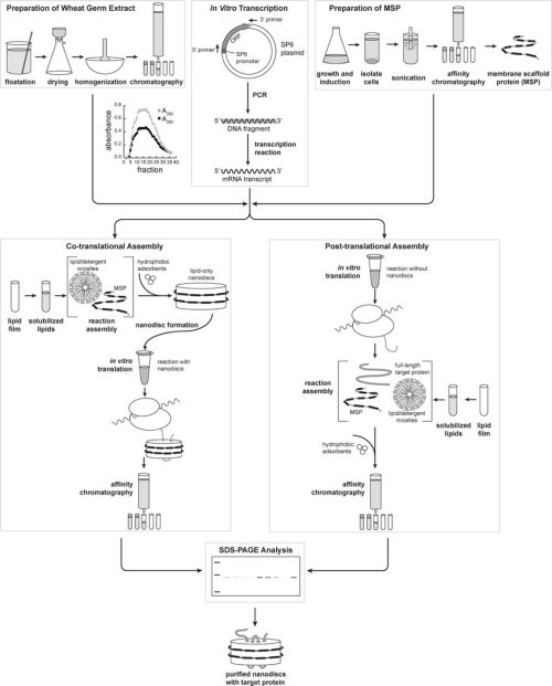 small resolution of protocol flowchart including preparation of wheat germ extract sections 2 1 and 3 1