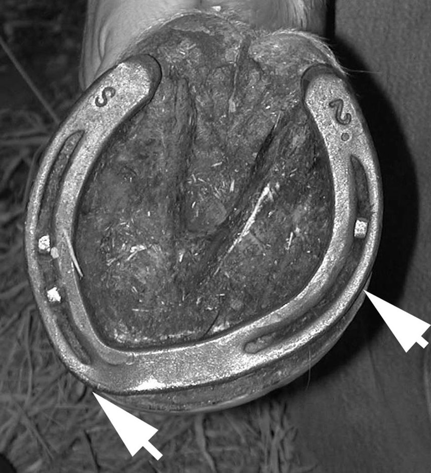 medium resolution of photograph of the foot of a representative horse for treatment 3 trim contour shoe