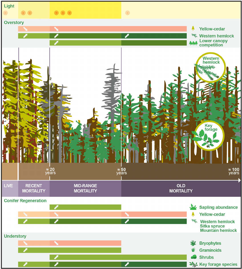 hight resolution of conceptual diagram depicting observed patterns of forest development following onset of yellow cedar decline year ranges presented are estimates