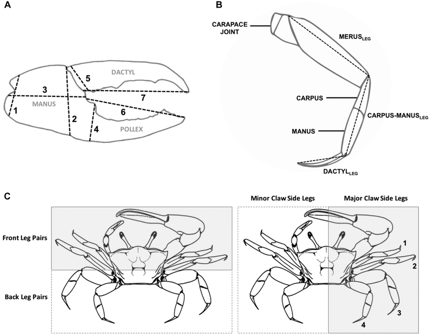 Diagram of (A) the major claw of male fiddler crabs. Gray