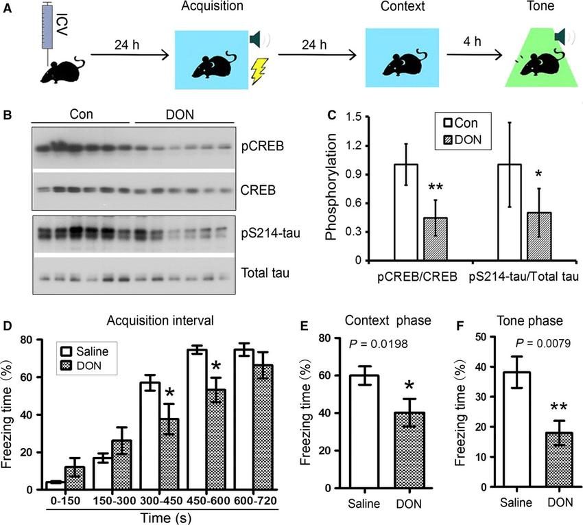 DON downregulates PKA-CREB signaling and impairs learning