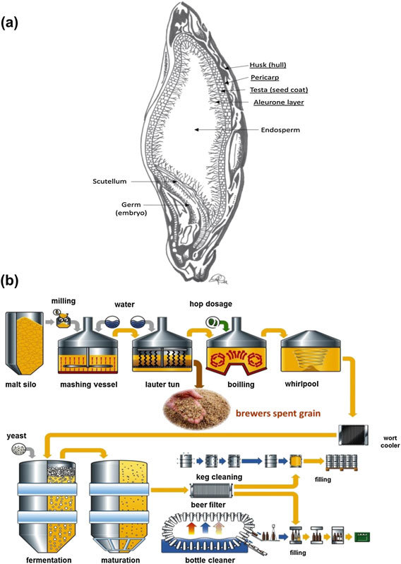 grain kernel diagram 2005 honda accord parts a cross section of barley showing the coverings underlined