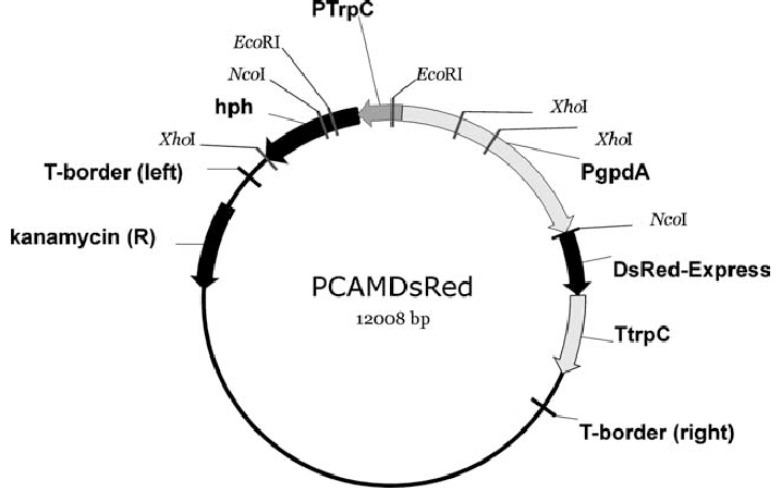 Restriction enzyme map of pCAMDsRed. The plasmid was