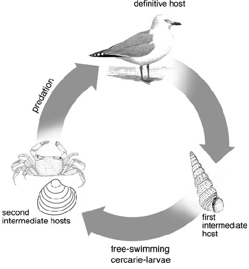 bird life cycle diagram 1998 jeep tj stereo wiring generalised for the three most common species of trematodes download scientific