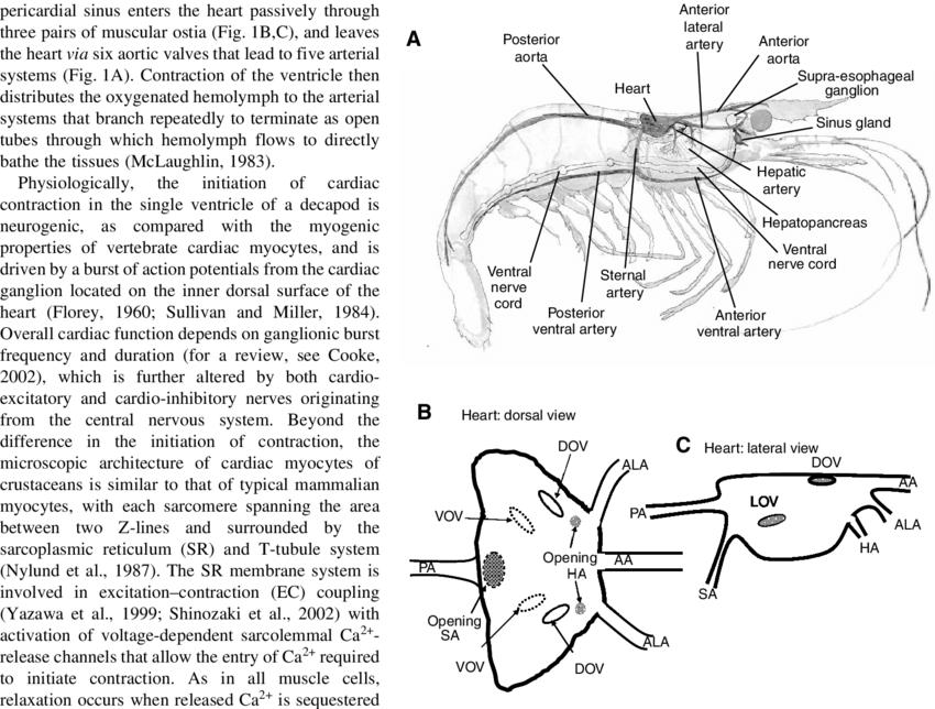 (A) Overview of circulatory anatomy of a shrimp. (B