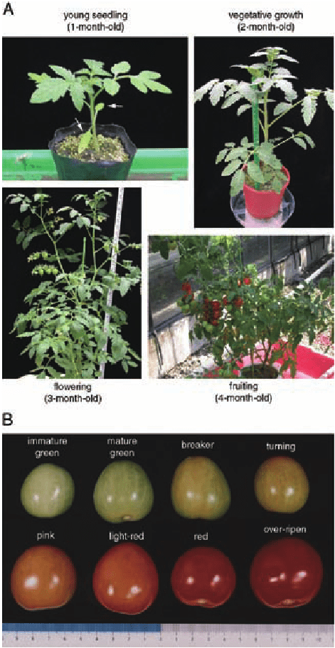 Tomato Plant Diagram Tomato Plants And Prefer
