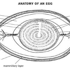 (PDF) Poultry Birds' Egg: An Egg inside Egg whose