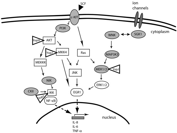 Schematic of multiple signaling pathways induced by