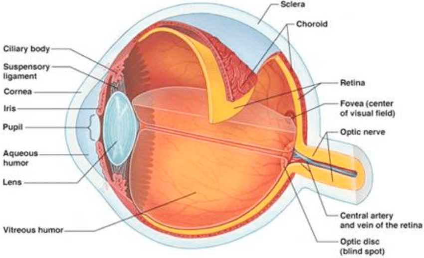 structure of human eye with diagram simple auto electrical wiring download scientific