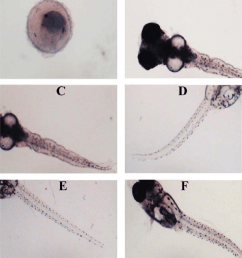 malformations observed in banded gourami embryos and larvae due to chlorpyrifos toxicity a unhatched embryo b irregular head and eye shape and lordosis  [ 850 x 981 Pixel ]