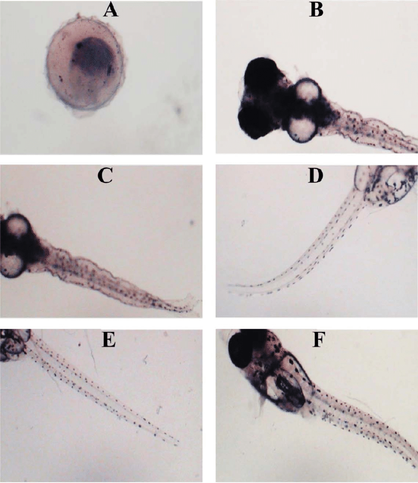 hight resolution of malformations observed in banded gourami embryos and larvae due to chlorpyrifos toxicity a unhatched embryo b irregular head and eye shape and lordosis