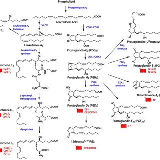 General overview of synthesis pathways for eicosanoids. The... | Download Scientific Diagram