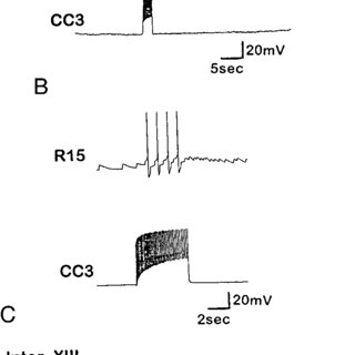 Firing of CC3 evokes activity in peripheral nerves of the