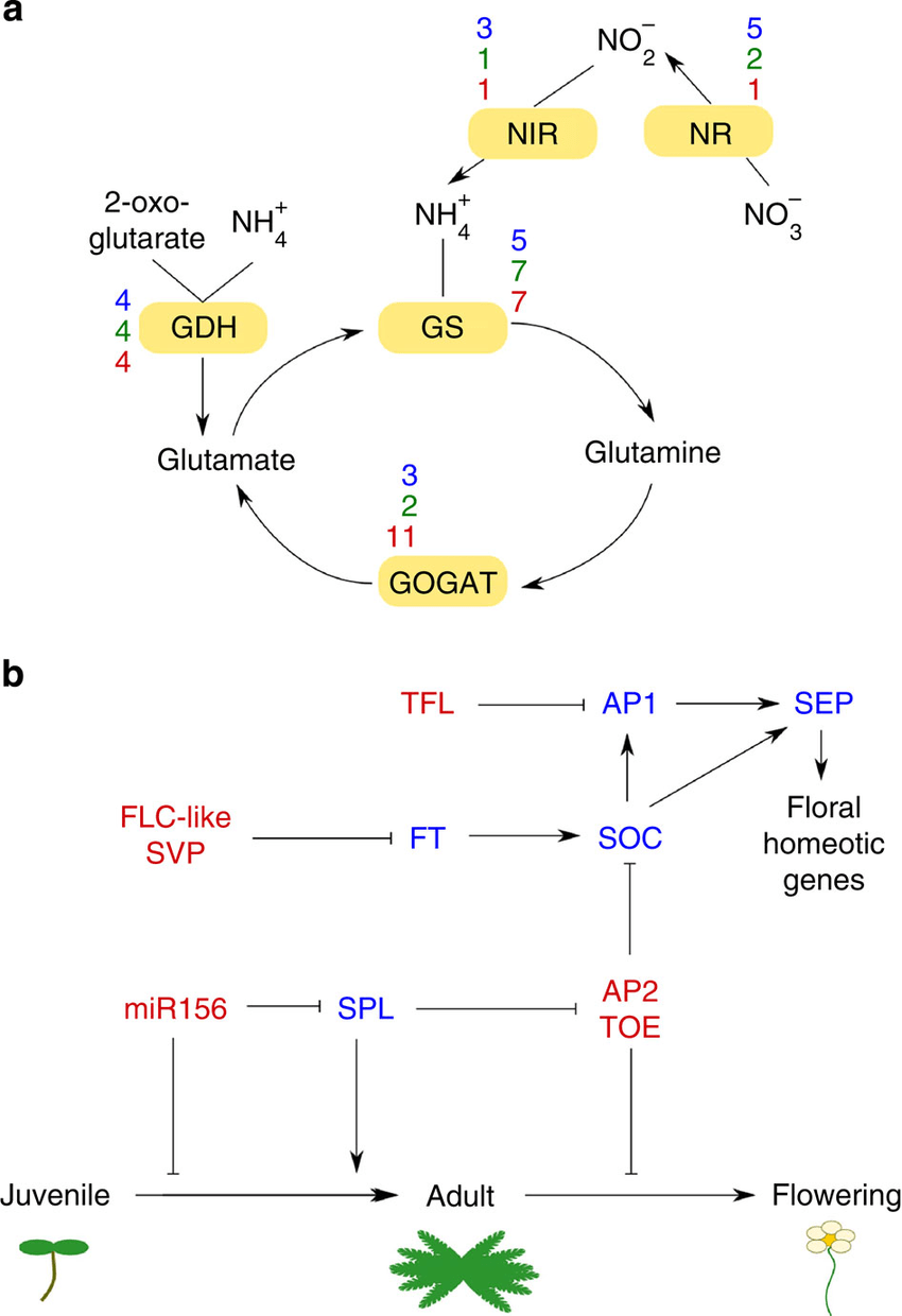 medium resolution of spirodela characteristic pathways a a schematic diagram of nitrogen assimilation in higher plants