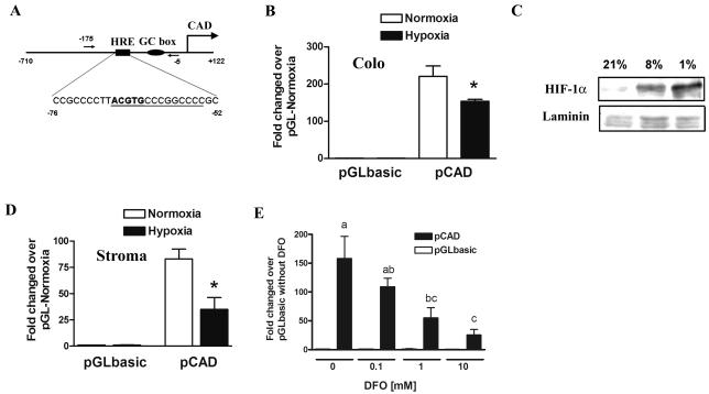 HIF-1α suppressed promoter activity of human cad gene. (A