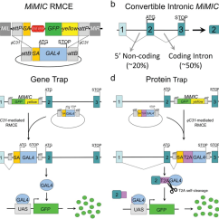 Pat Trap Wiring Diagram For Trailer Plug Gal4 Gene And Protein Mimic Conversion Strategy Expression Analysis A Schematic Of ϕc31 Mediated Rmce To Swap The Content
