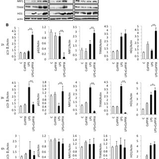 Effects of SnPPIX on autophagy during LPS treatment in the