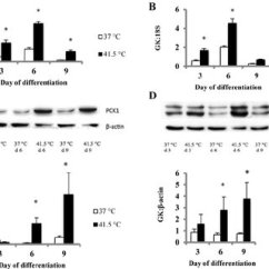 Hot Water Music Plicated Strike Slip Fault Block Diagram Pdf Heat Stress Enhances Adipogenic Differentiation Of Subcutaneous Increases Abundance Genes Involved In Glyceroneogenesis Adipocytes A Phosphoenolpyruvate