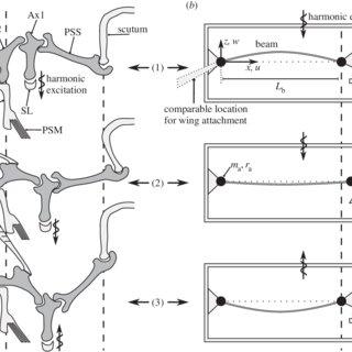 (PDF) Dipteran wing motor-inspired flapping flight