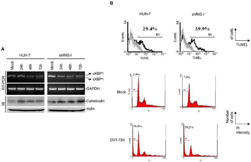 Endoplasmic reticulum (ER) stress-induced expression of