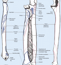 9 schematic drawing of both the radius and the ulna left and right and [ 850 x 1022 Pixel ]