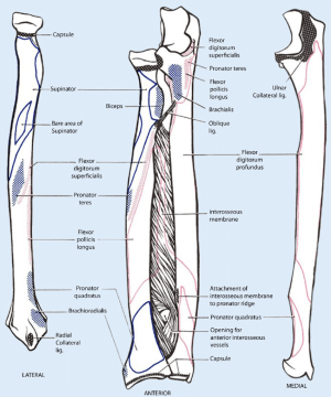9 Schematic drawing of both the radius and the ulna (left