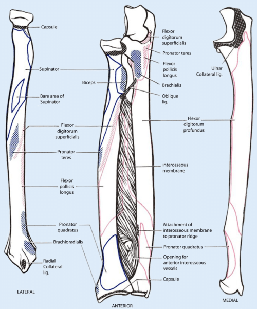 small resolution of 9 schematic drawing of both the radius and the ulna left and right and