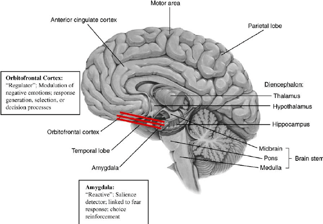 Reciprocal connections between the amygdala and the