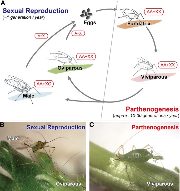 cricket life cycle diagram how to wire a boat trailer typical annual of aphids schematic holocyclic b sexual individuals male and oviparous female