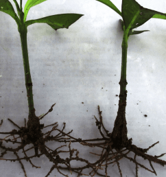 rooted softwood cuttings of g kola treated with indole 3 butyric acid rooting [ 850 x 980 Pixel ]