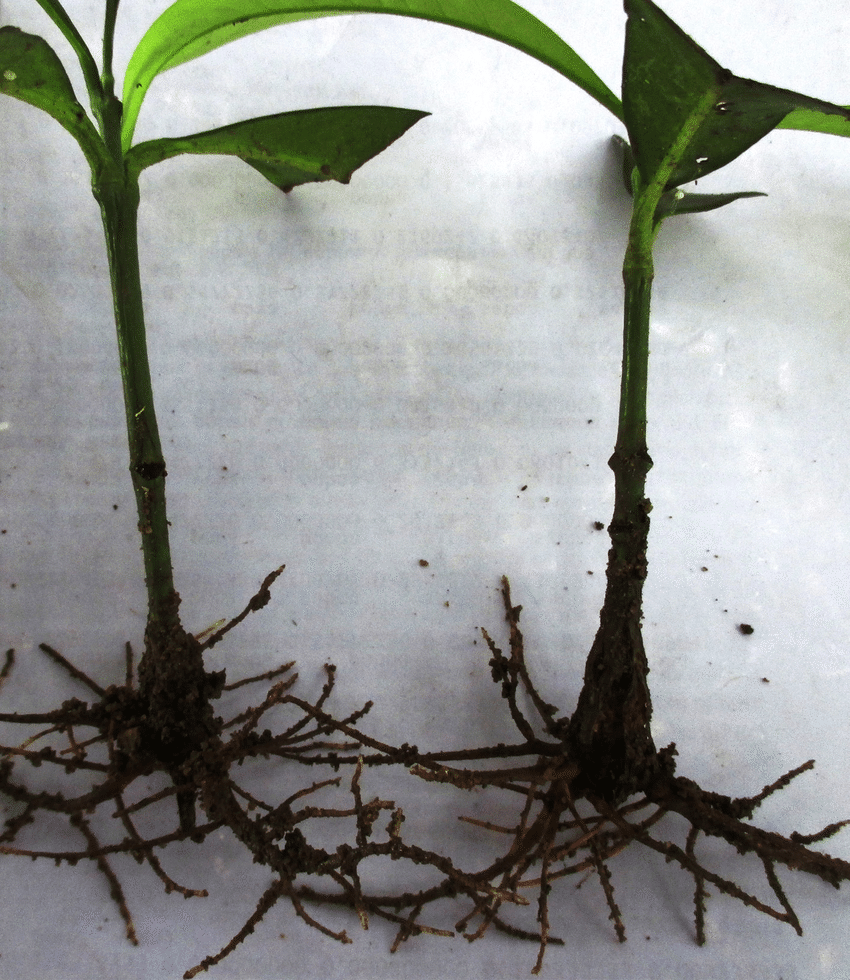 hight resolution of rooted softwood cuttings of g kola treated with indole 3 butyric acid rooting