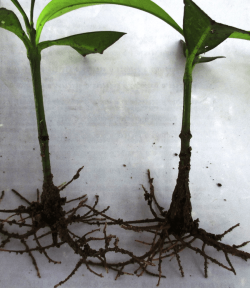 small resolution of rooted softwood cuttings of g kola treated with indole 3 butyric acid rooting