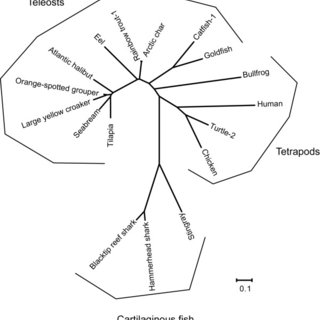 Phylogenetic analysis of stingray GRLN-LP. Phylogenetic