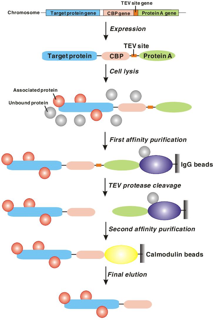 medium resolution of schematic representation of tap methodology