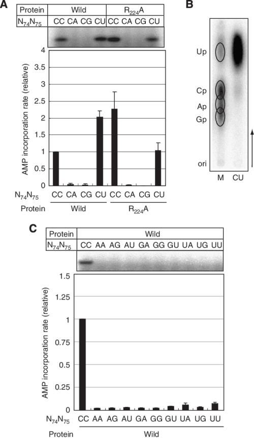 small resolution of amp incorporation into mutant mini helices a amp incorporation into download scientific diagram