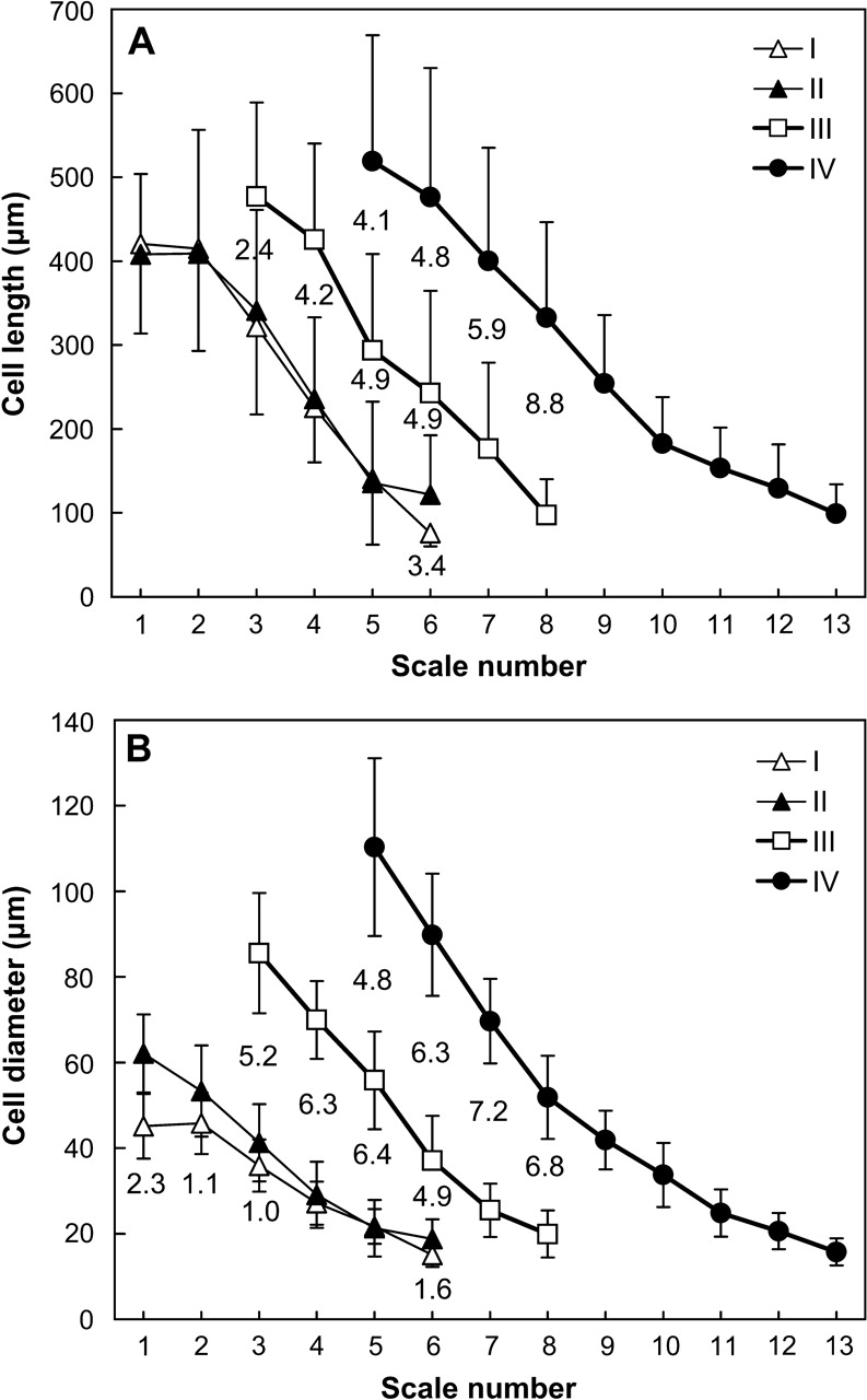 hight resolution of cell dimensions and growth rate in the adaxial epidermis of scales during onion bulb development