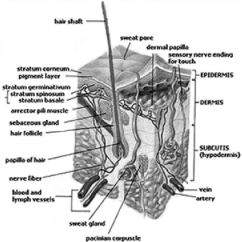 Skin Cross Section Diagram 1994 Jeep Grand Cherokee Wiring Of Human From Wikipedia Download Scientific